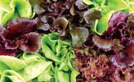 lettuce image