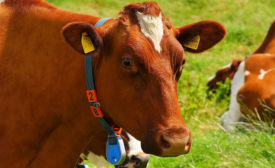 cow with RFID tags
