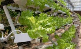leafy greens hydroponics