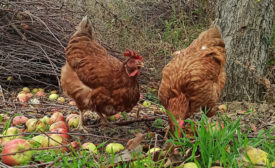 brown chickens, generic