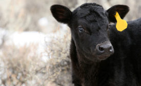 Black Calf with Yellow Ear Tag