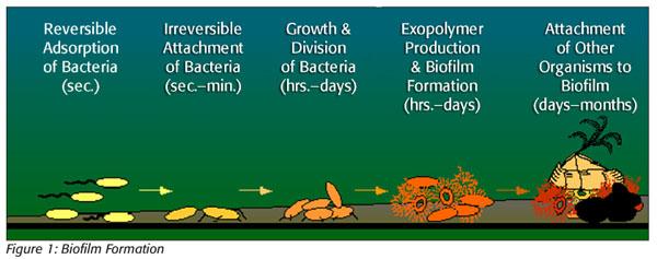 biofilm formation as microbial development pdf