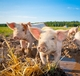 USDA Modernizes Swine Slaughter Inspection for the First Time in Over 50 Years