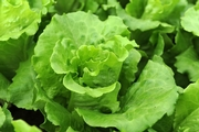 FDA Begins Year-Long Assignment to Test Romaine Lettuce for Pathogens