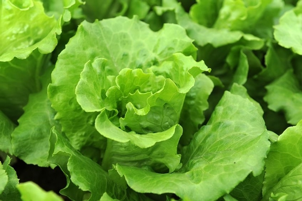 7 new E. coli cases; continue avoiding romaine lettuce