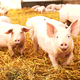 African Swine Fever Will Accelerate the Transformation of China's Pork Industry