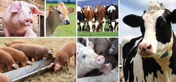 Public Health Risk of  Antibiotic Use in Food Animals