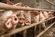 FSIS Issues Compliance Guidelines for Controlling Salmonella in Market Hogs