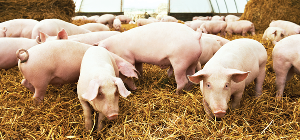 Is African Swine Fever an Emerging  Threat to the U.S. Pork Supply?