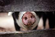 El USDA propone una nueva regla para las plantas de sacrificio de cerdos