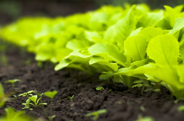 California LGMA Updates Food Safety Practices for Leafy Greens