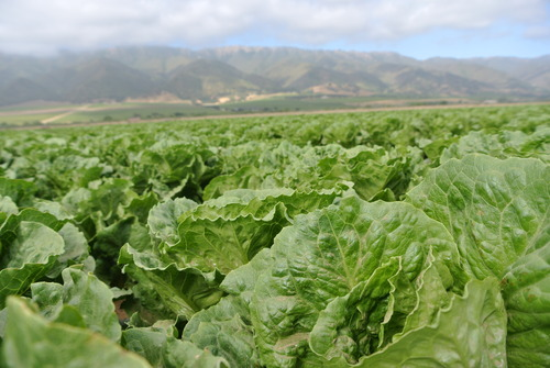 Lettuce_in_field_from_Google_images_Cultivate_Fest.jpg