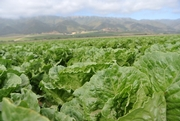 LGMA: Despite Government Shutdown, Inspection Continues for Leafy Greens
