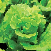 Leafy Green Processing for Ready-to-Eat Salads