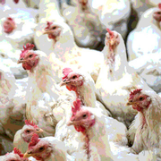 Is Avian Influenza a Food Defense Issue?