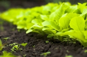 Three Separate Romaine Lettuce Outbreaks Declared Over