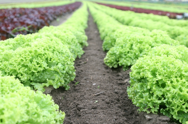 CDC: Nearly 150 sickened by E. coli-tainted lettuce
