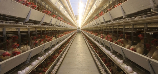Best Food Quality and Safety Practices for Poultry