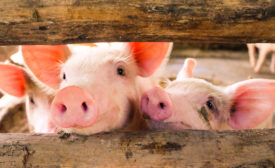 pigs behind a wooden fence