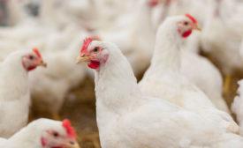 white hens conversing